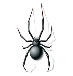 widow spider vector image
