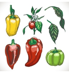 Set of colored bell peppers vector image vector image