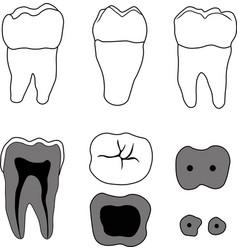 molar tooth vector image vector image