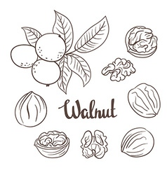 Walnuts with leaves and dried walnuts isolated on vector