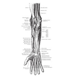 Muscles and nerves of the forearm vintage vector