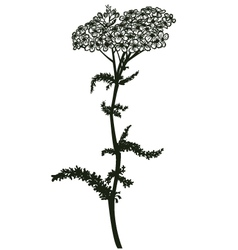 Yarrow vector image