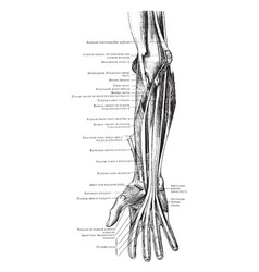 Deep muscles of the front forearm vintage vector