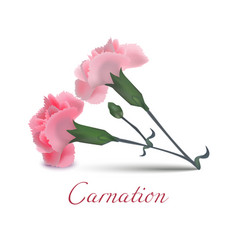 carnation flowers in realistic style vector image