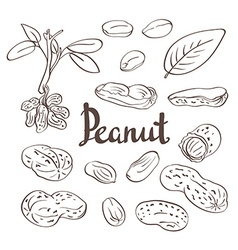 Peanuts kernels and leaves vector