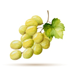 Watercolor branch yellow grapes vector