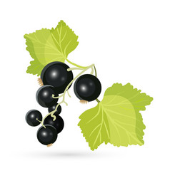 Blackcurrant with leaves isolated on white vector image vector image