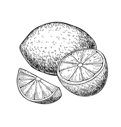 Hand drawn lemon or lime fruit with sliced vector