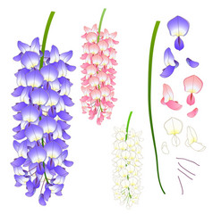 Violet blue pink and white wisteria vector
