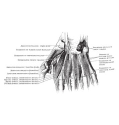 Dorsal interosseous muscles of the hand vintage vector