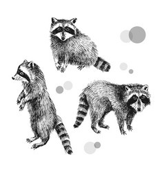 3 hand drawn raccoons vector image vector image