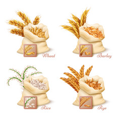 Agricultural cereals - wheat barley oat and rice vector