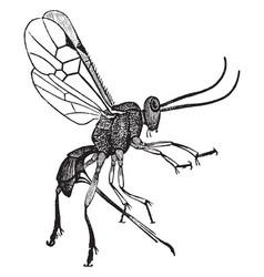 Female adult parasite wasp vintage vector