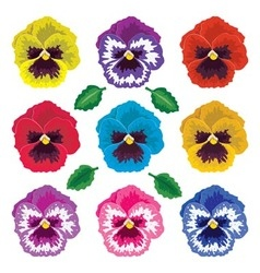 pansy flowers vector image