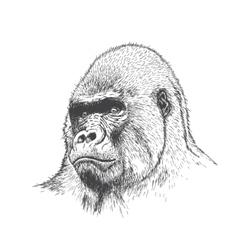 Gorilla portrait vector