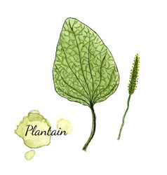 Watercolor plantain medicinal herb vector