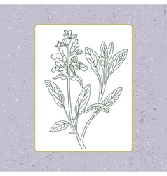 Black and white sage isolated hand drawn sage vector