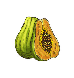 Papaya exotic tropical fruit isolated sketch vector