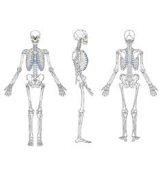 human skeleton blueprint vector image