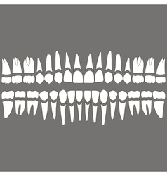 Dentition teeth and roots vector