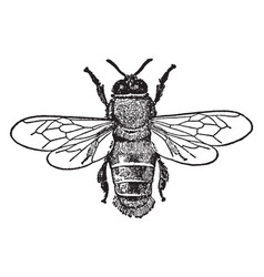 Male honey bee vintage vector