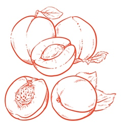 Drawing Sweet apricots vector image vector image