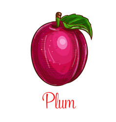 Plum fruit sketch isolated icon vector