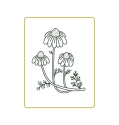 Chamomile flowers on white vector image