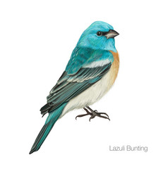 exotic blue cardinal bird vector image
