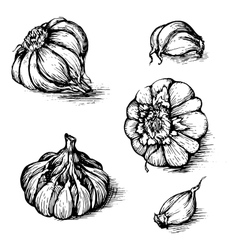Hand drawn set of garlic with cloves vector