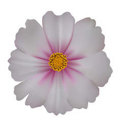 Cosmos flower isolated on white background vector