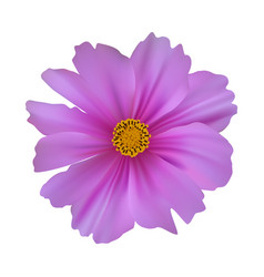 cosmos flower isolated on white background vector image vector image
