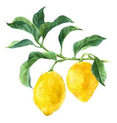 Watercolor lemon tree branch vector