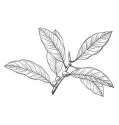 Branch of florida strangler fig vintage vector
