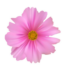 cosmos flower isolated on white background vector image