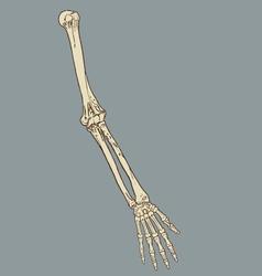 Human forearm skeleton anatomy vector