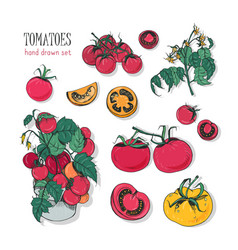 tomato varieties hand drawn set branch flowers vector image