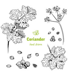 Coriander hand drawn set vector