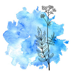 Flower of valerian at watercolor background vector