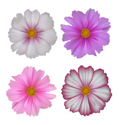 set of cosmos flowers isolated on white background vector image