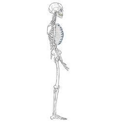 Human Skeleton Left View vector image vector image