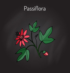 Passiflora or passion flowers vector