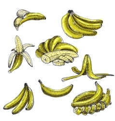 Bananas set of sketchesdetailed citrus vector
