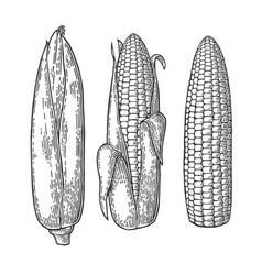 Set ripe cob of corn from the closed to the vector