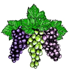Bunch of grapes sketch style vector