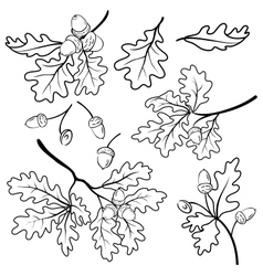 Oak branches with acorns outline vector