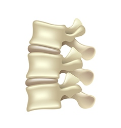 Lumbar spine isolated on white vector image vector image