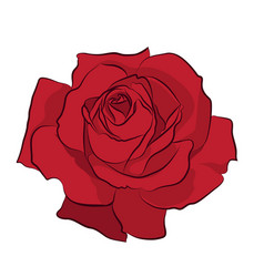 Beautiful red rose isolated on white background vector