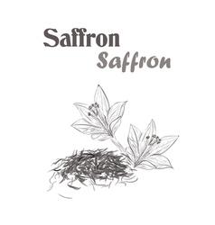 saffron spice Sketch style of saffron vector image vector image