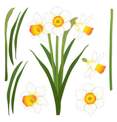 Daffodill - narcissus isolated on vector
